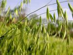 Nutrición beta del extracto de P.E. Oat de la avena del polvo del extracto de la avena del glucano del AOAC el 35%/del extracto de la avena