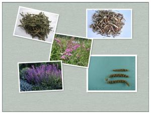 China Spica Schizonepetae,Fineleaf Schizonepeta Herb,Herba Schizonepetae ,ching-chieh on sale