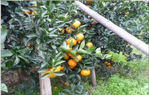 China 30 - 55mm Juicy Organic Fresh Mandarin Oranges Citrus With Folate , Beta-Carotene, Single fruit weight 25-50 G on sale