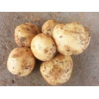 Fresh Yellow Organic Long Potatoes With Complete Body / Rich Starch