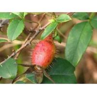 Rosa laevigata Michx.fruit,root, Jin ying zi,traditional chinese herb