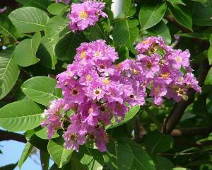 China Banaba Leaf P. E.1%-98% Corosolic Acid on sale