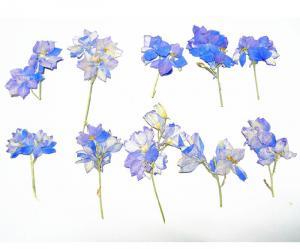China Larkspur Dye Light Blue Natural Dried Flowers Diameter 3CM  For Teaching Specimen supplier