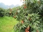 2013 lichi delicioso fresco de la nueva cosecha lichi/en venta caliente