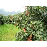 China 2013 new crop fresh lichi/ delicious lichi on hot sale on sale
