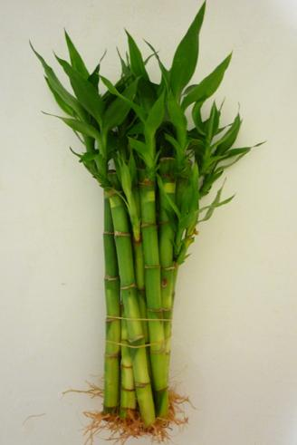 Water Vase Lucky Bamboo House Plants For Sale Straight Lucky