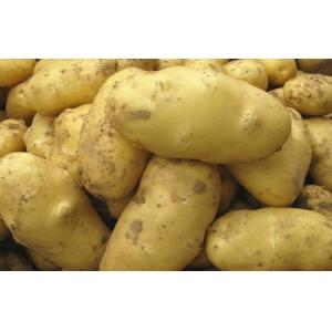 China 150g Organic Fresh Holland Potato No Pollution , No Insect For Market, large size, good shape, Neat uniform on sale