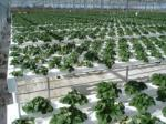 Árbol de goma del jardín--planta del enchufe de la cultura del tejido