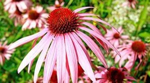 China Echinacea Purpurea Herb extract on sale