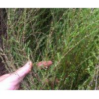 Shrubby Baeckea frutescens stem leaves Herb medicine Gang song