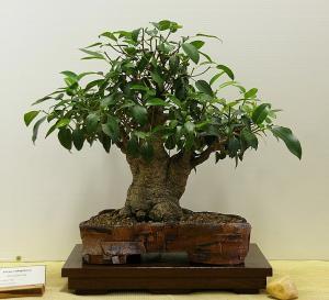 China LIVE ficus microcarpa shaped bonsai trees on sale