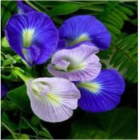 Butterfly pea Extract, Clitoria ternatea powder, Blue powder, Shaanxi Yongyuan Manufacture, high quality