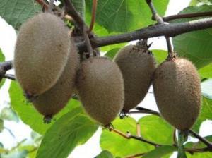 China Crispy Aroma and light aroma green kiwi fruit and kiwi seedlings grafted seedlings supplier