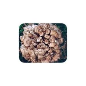 China Natural plant extract Grifola Frondosus extract/ Maitake Extract/ Maitake Mushroom Extract on sale