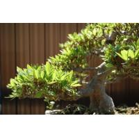 ficus microcarpa bonsai tree (evergreen tree) Nursery