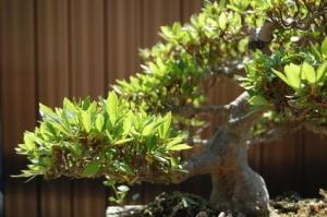 China ficus microcarpa bonsai tree (evergreen tree) Nursery on sale