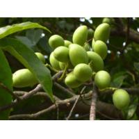 fine yellow green Powder 10%-50% oleuropein/olive leaf extract --Olea europea L.
