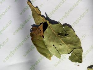 China Laurus nobilis L leaf spice green color with natural frangrance Yue gui ye on sale