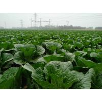 Cruciferous Organic Green Cabbage , No Putrefaction Healthy Cabbage