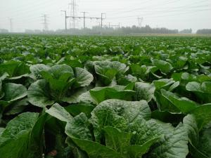 China Cruciferous Organic Green Cabbage , No Putrefaction Healthy Cabbage on sale