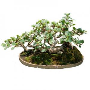 Grafted Taiwan Ficus Ginseng Ficus Mini Bonsai For Sale 1 Ficus