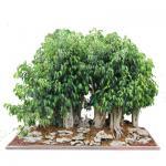 Mini bonsai plant--Ginseng Ficus