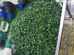 Natural IQF Frozen Vegetables / Spinach Various Shapes / Sizes Optional