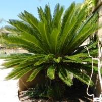 China Large Gardening Natural Cycas Revoluta bonsai tree on sale