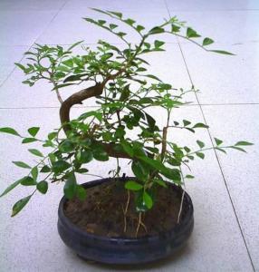 China Bonsai Tree Murraya on sale