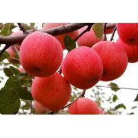 Wholesale : Top Quality Chinese Fresh Apple / Fresh Apple Bulk / Red Fuji Apple Price In Netherlands Market