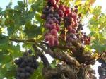 2013 uvas vermelhas frescas da colheita nova na venda quente