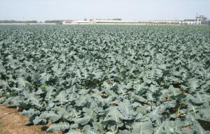 China Organic IQF Green Organic Frozen Broccoli Anti-Carcinogenic , Plastic Sheeting, Nutritious on sale