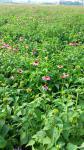 Echinacea Purpurea 1%, 2%, 4%( Chicory Acid) HPLC, polyphenol 4%