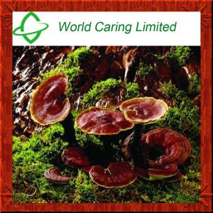 China High quality Natural Red Reishi Mushroom Extract for liver protecting on sale