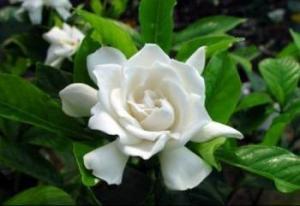 China Hot sale best quality pure Jasmine Extract/ Jasmine Flower Extract/ Jasmine Tea Extract on sale