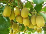 Almácigos del kiwi de Jin Yan (color de oro o fruta de kiwi de oro del dragón)