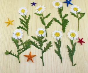 China Small Chrysanthemum Dried Pressed Flowers Size Customized For DIY Christmas Card on sale