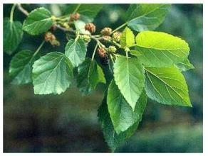 China Mulberry Leaf Extract, 1-DNJ 1%, 10:1, Chinese Manufacturer, natural reduce blood glucose, High quality on sale