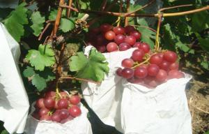 China Sweet Juicy Red Globe Grapes Containing Protein , Mineral Substance on sale
