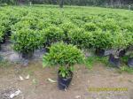 Árbol Fagraea Ceilanica del jazmín de África
