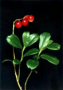 China Supply Lingonberry  extract on sale