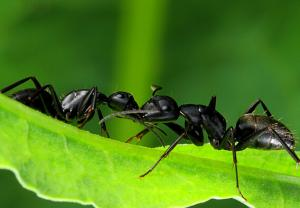 China black ant extract,black ant powder,Polyrhachis vicina Roger Extract,Formic acid on sale