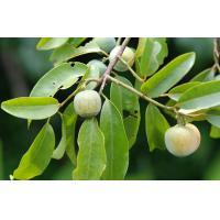 China Muira Puama Extract,Muira Puama Root Extract,Muira Puama Extract Powder 10:1 on sale
