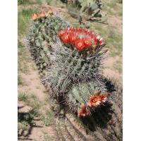 Golden Barrel Cactus bonsai (Echinocactus grusonii)