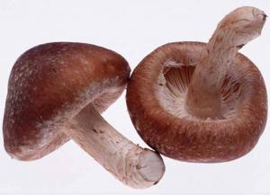 China Medicinal Shiitake Mushroom Extract,Edible Shiitake Mushroom Extract on sale