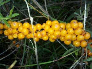 China Seabuckthorn Oil on sale