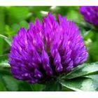 China Sell Red Clover Extract on sale