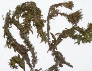 China Dried huperzine serrate plants for natural herb on sale