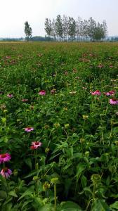 China food supplements powder extract echinacea purpurea extract polyphenol on sale