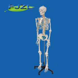 China Life-size Skeleton 180cm tall on sale